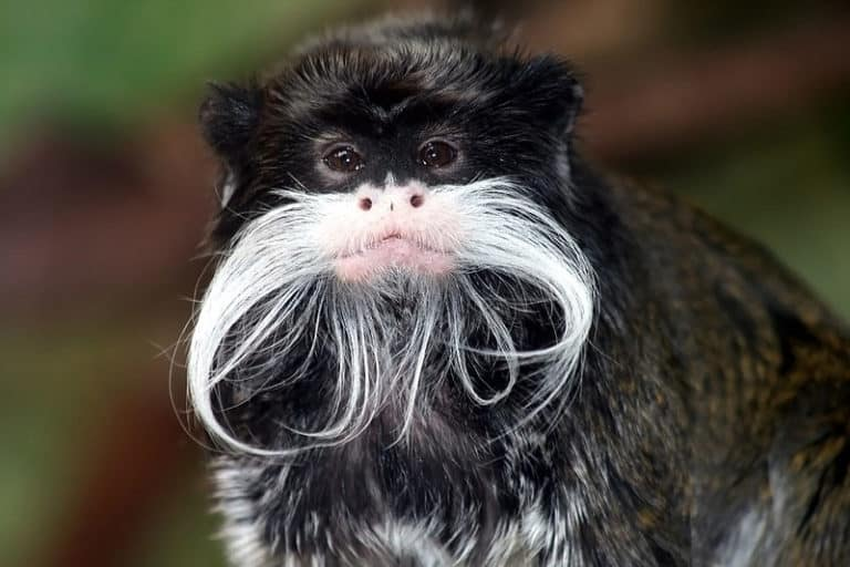 Emperor Tamarin close-up photo showing white mustache and beard