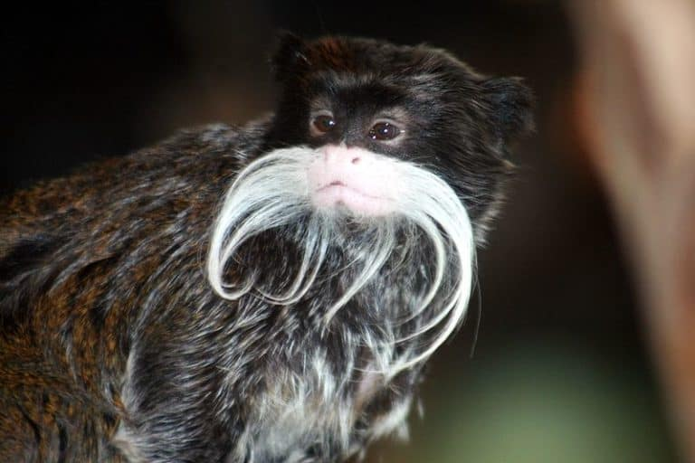 Emperor tamarin close-up photo