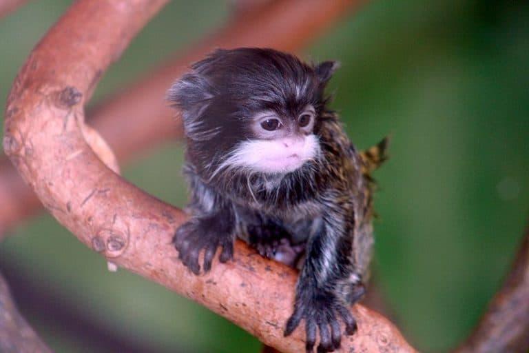 Baby emperor tamarin