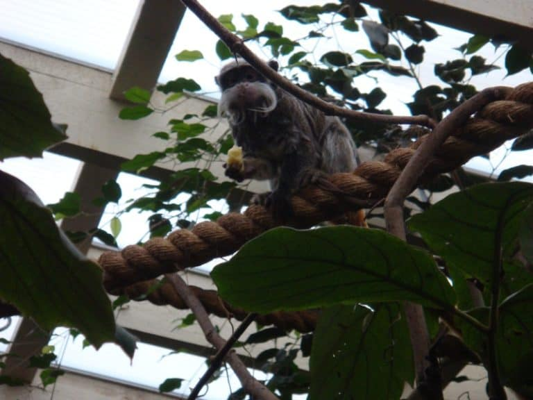 Emperor tamarin in a tree at Colchester Zoo