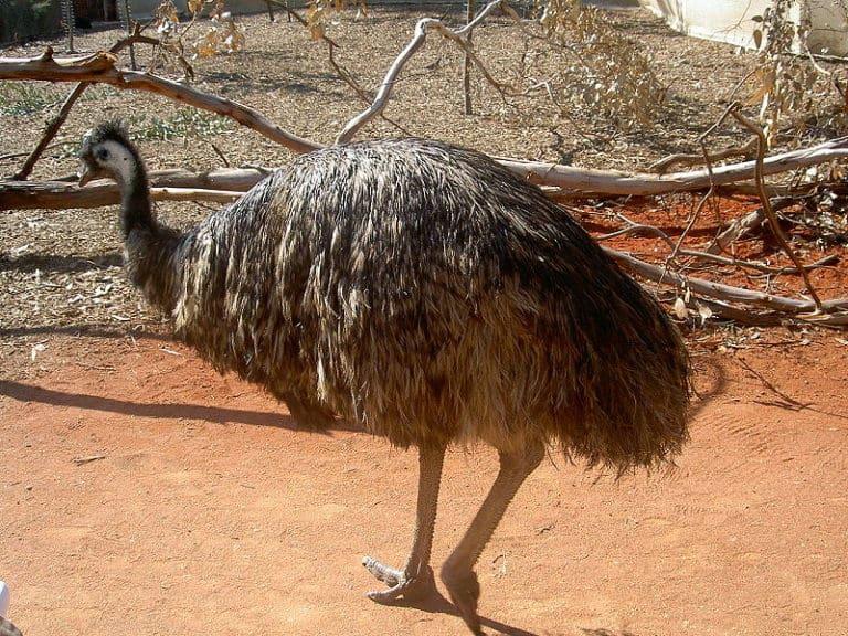 Emu walking on ground