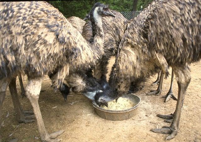 Group of Emu feeding
