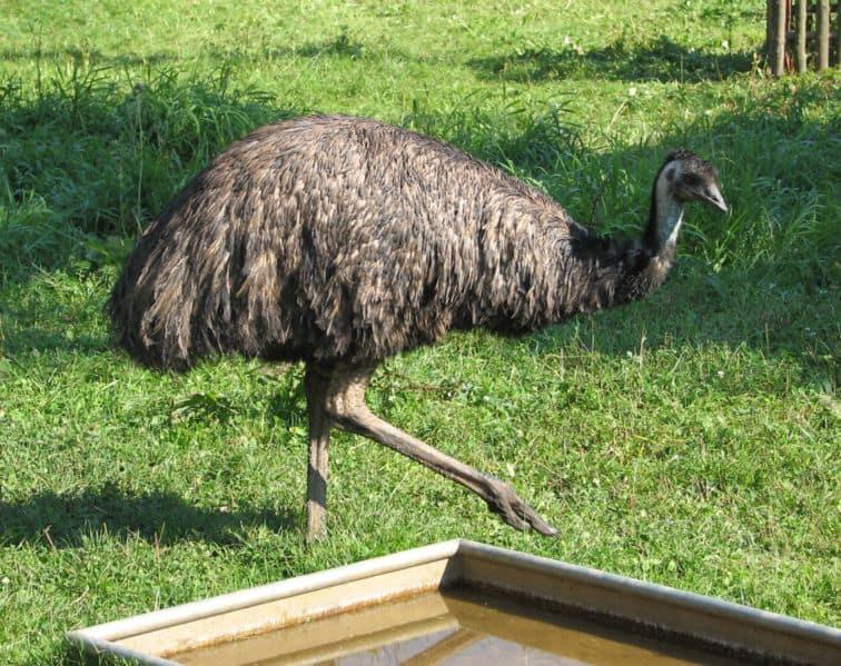Emu in a park