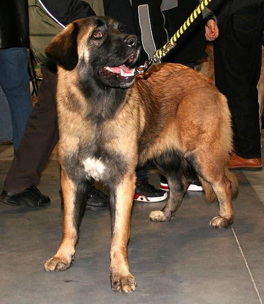 Estrela Mountain Dog standing with its handler