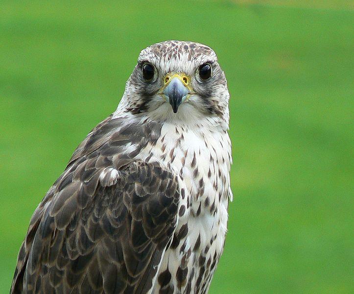 Falcon Falconiforme Animals A Z Animals