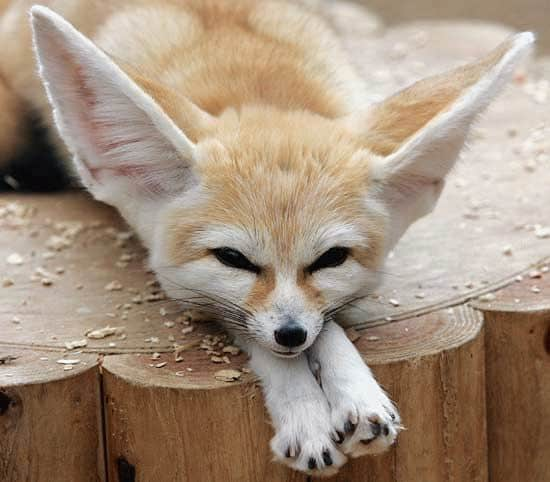 Fennec fox - wallpaper.