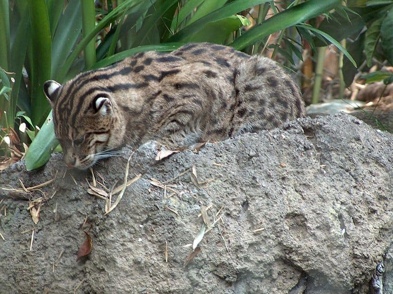 Picture 8 of 9 fishing cat prionailurus viverrinus for Moving fish for cats