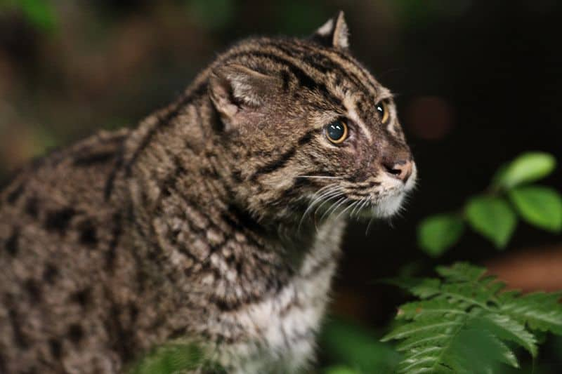 Picture 9 of 9 fishing cat prionailurus viverrinus for Fish videos for cats