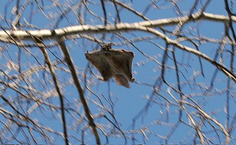 flying squirrel (Pteromyini) flying squirrel gliding through the trees