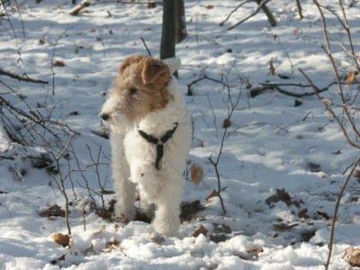 A Fox Terrier