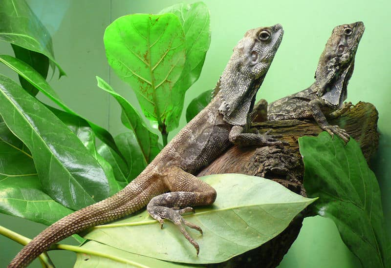 Z Man Lizard Picture 1 of 4 ...