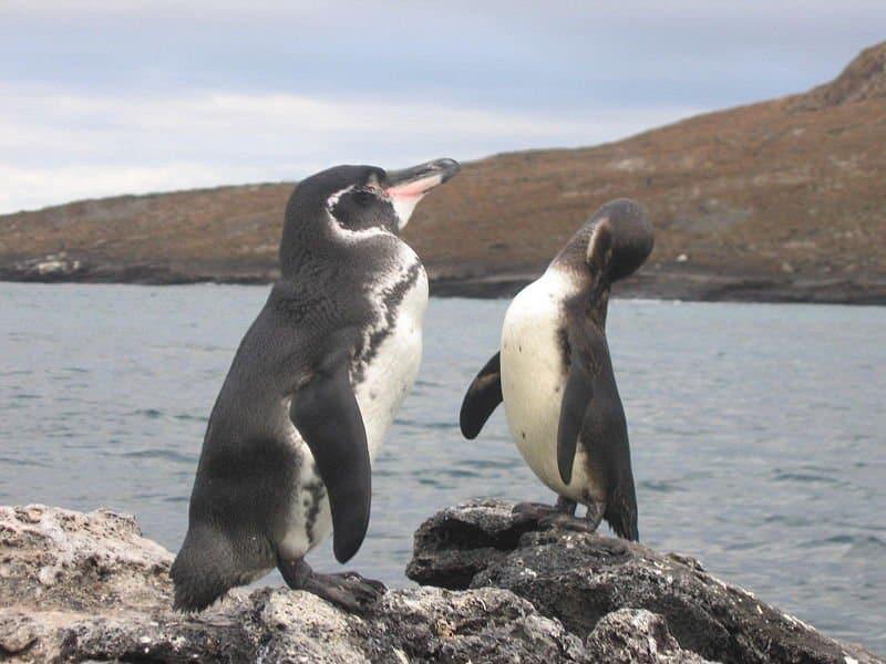 Galapagos Penguin (Spheniscus Mendiculus) - Animals - A-Z Animals ...