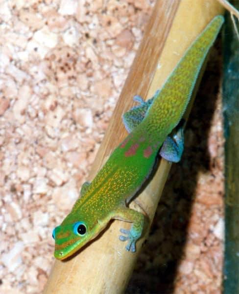 Gecko Gekkonidae  Animals  AZ Animals