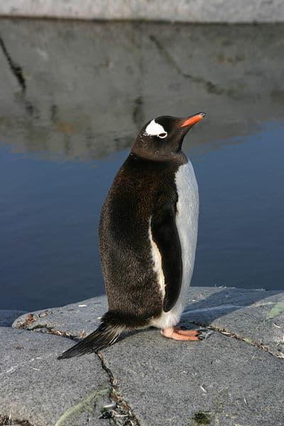 Gentoo Penguin (Pygoscelis Papua) - Animals - A-Z Animals