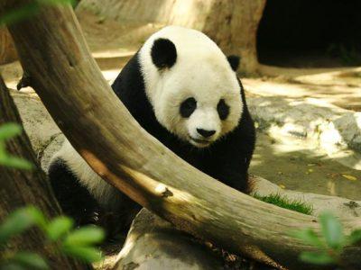 A Giant Panda Bear