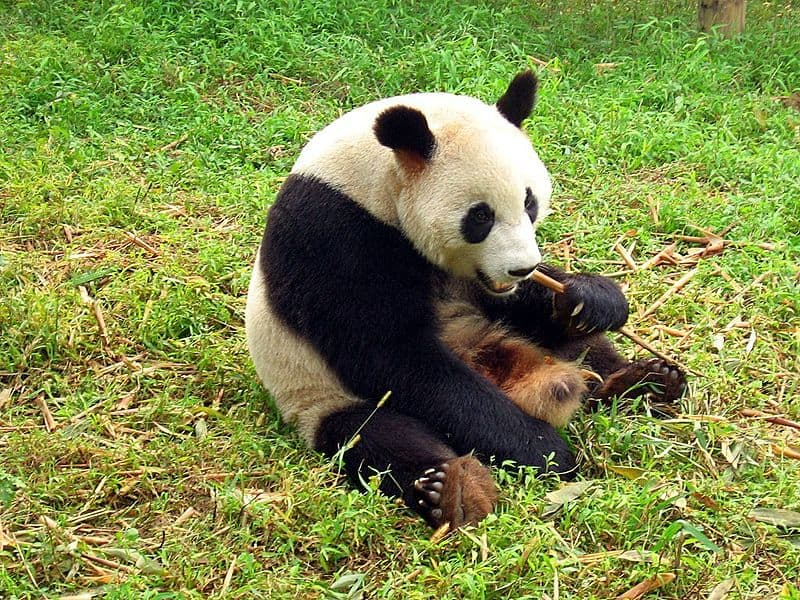 Picture 5 Of 9 Giant Panda Bear Ailuropoda Melanoleuca Pictures
