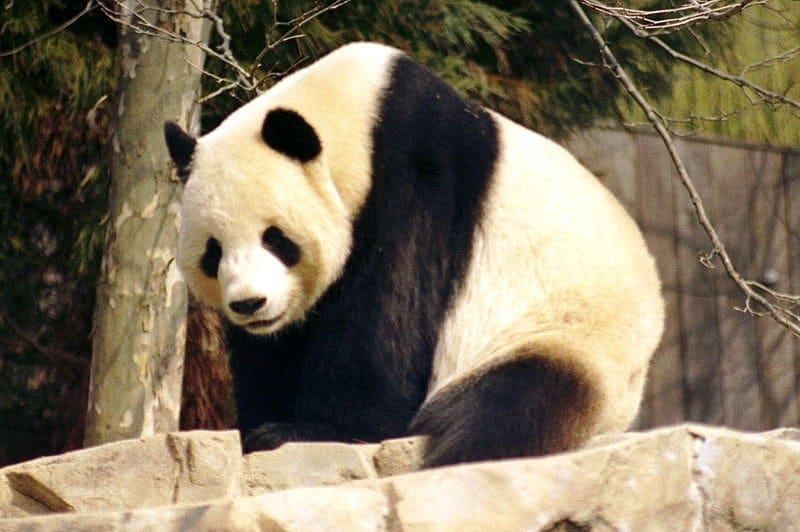 Giant Panda Bear Ailuropoda Melanoleuca Animals A Z Animals