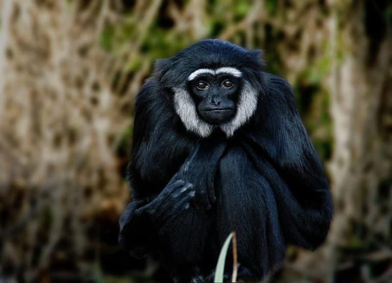 Portrait of Gibbon sitting