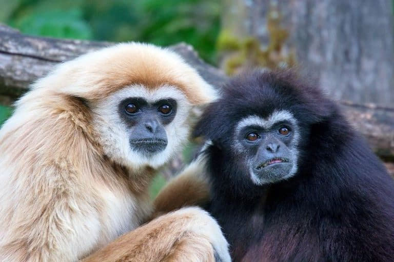 A pair of Gibbons
