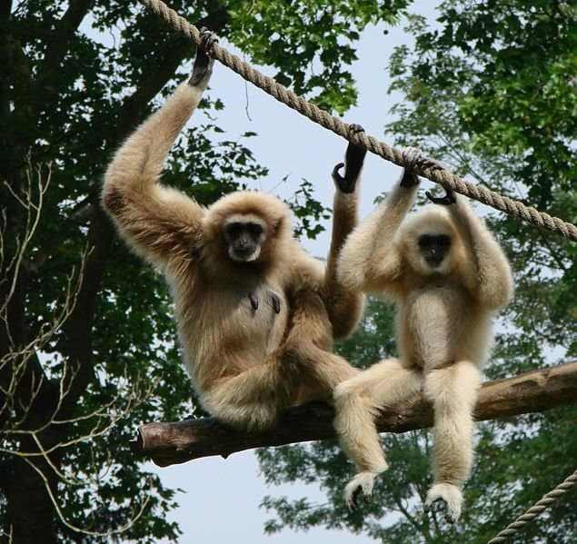 Two Gibbons sitting in a tree