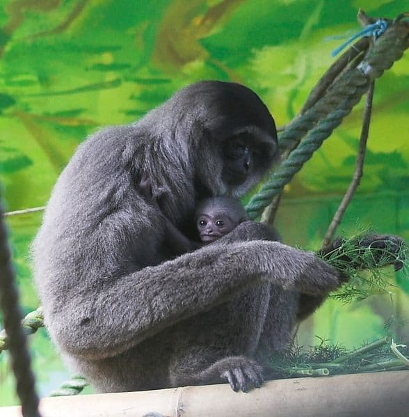 Gibbon with a baby sitting in a tree