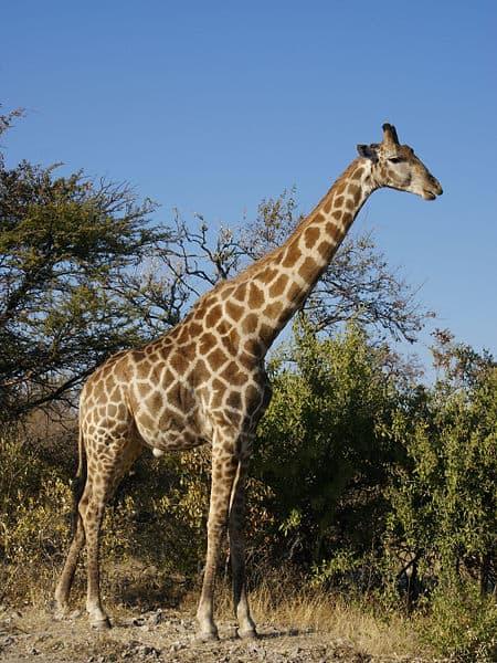 Southern giraffe - Wikipedia