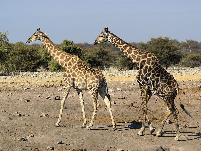 Giraffe (Giraffa camelopardalis) - Animals - A-Z Animals - Animal ...