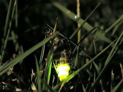 A Glow Worm