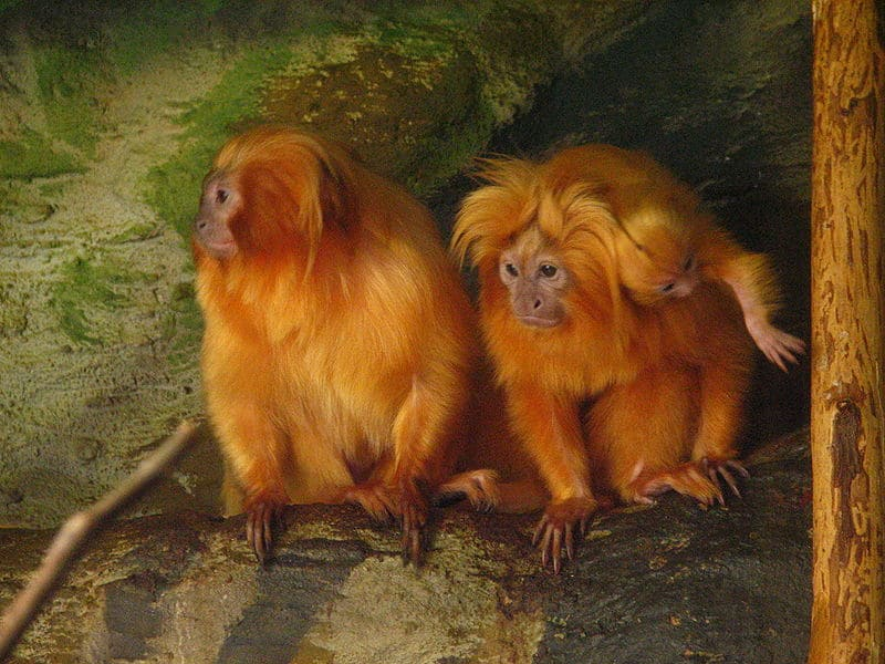 Picture 6 of 7 - Golden Lion Tamarin (Leontopithecus ...