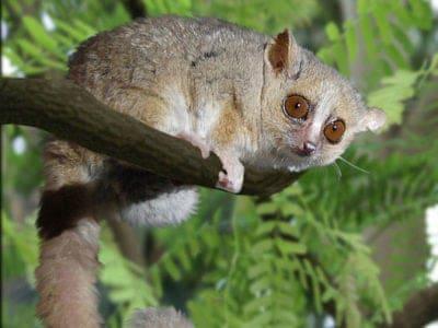 A Grey Mouse Lemur