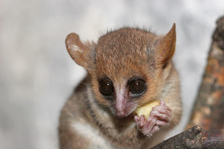 Grey Mouse Lemur eating a banana