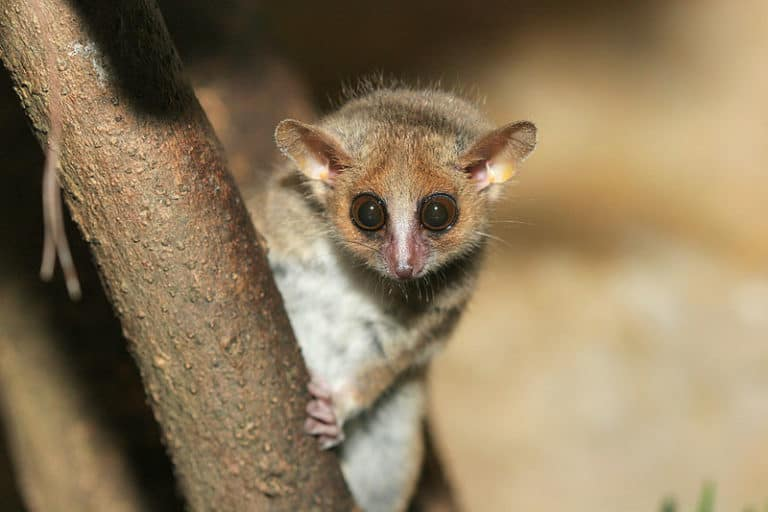 Grey Mouse Lemur sitting in a tree