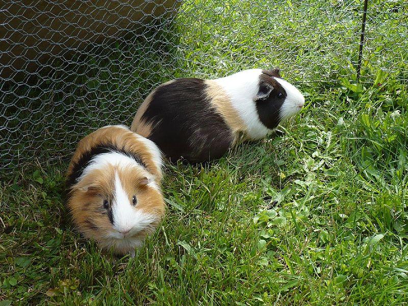 Guinea Pigs & Shape Poems - Lessons - Tes Teach
