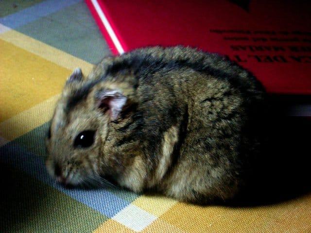 z hamster