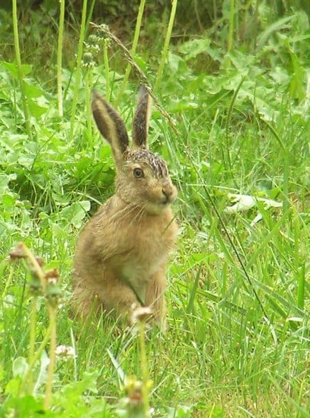 Hare sitting in grass