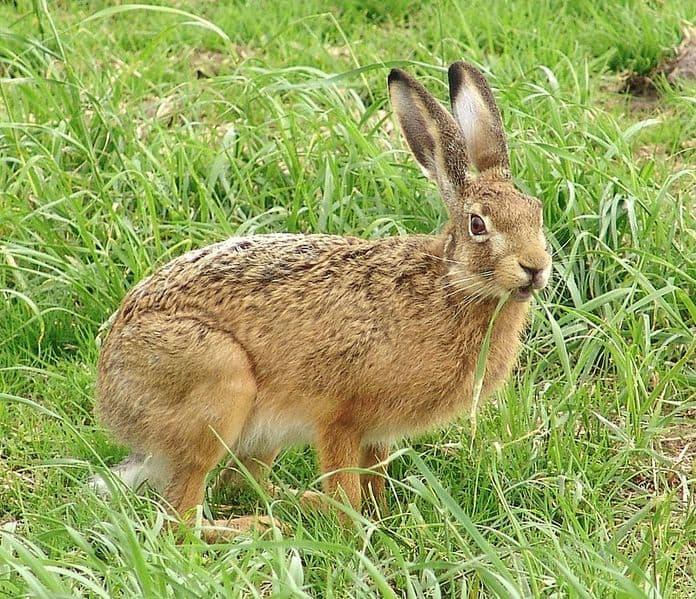 Hare in grassland