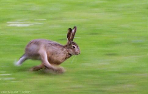 Hare running in grassland