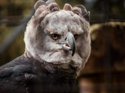 A Harpy Eagle