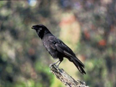 A Hawaiian Crow