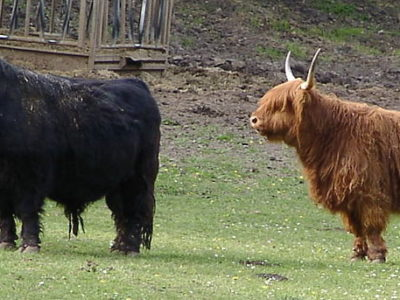 A Highland Cattle
