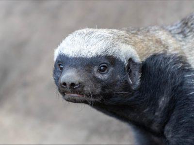 A Honey Badger