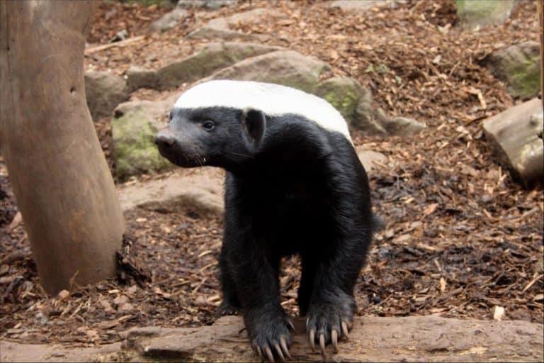 Honey Badger (Mellivora Capensis) - toughest animal for protecting itself against large predators