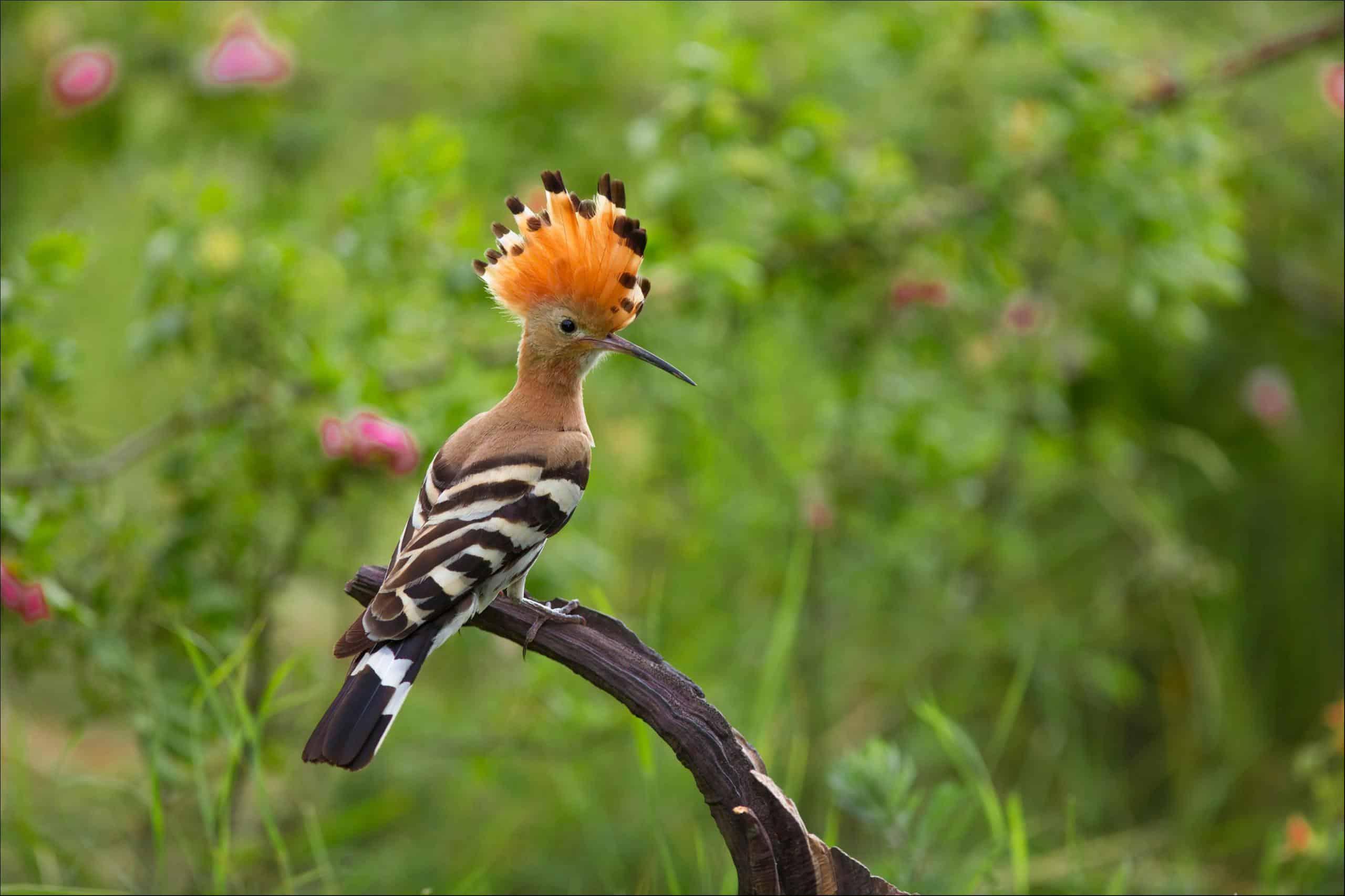 hoopoe (Upupa) hoopoe on a branch