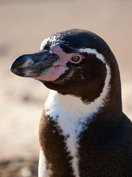 Picture 1 of 10 - Humboldt Penguin (Spheniscus Humboldti ...