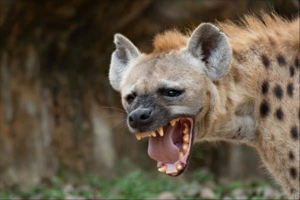 hyena_3-600x400.jpg