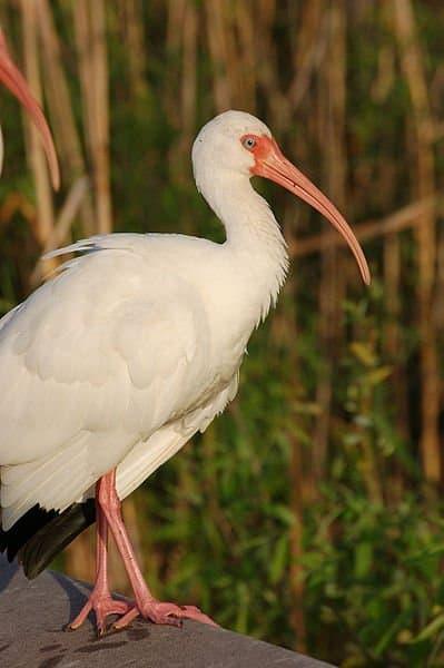 Adult White Ibis (Eudocimus albus) found in Everglades National Park in Florida
