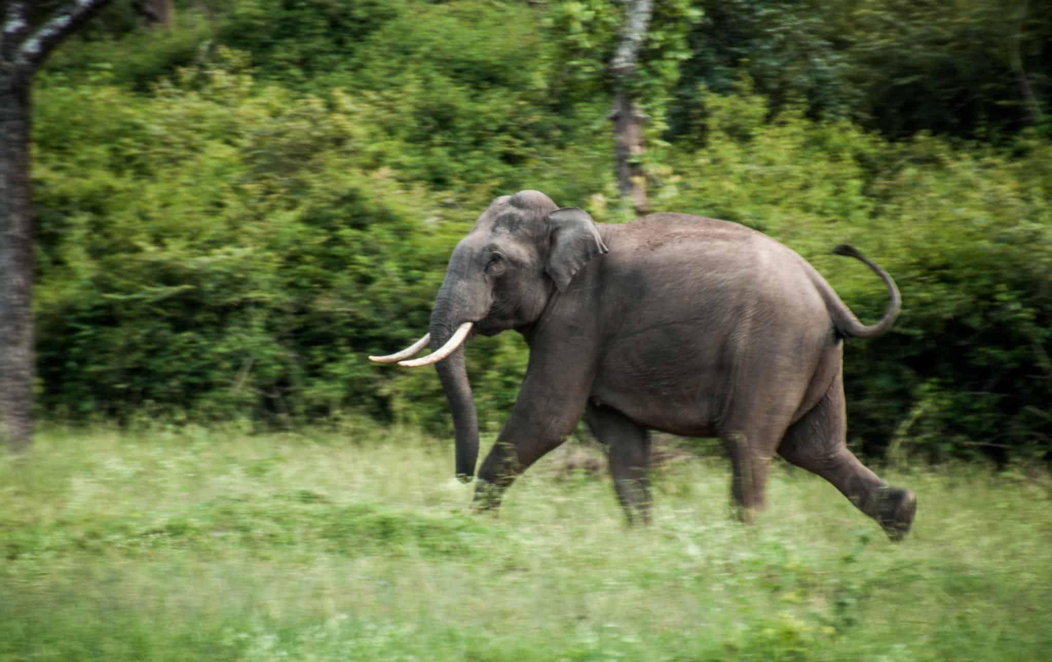 indian elephant elephas maximus indicus animals a z animals