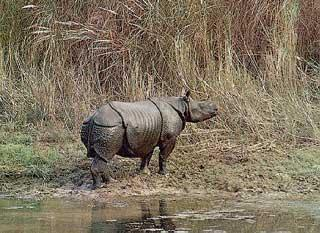 Picture 4 of 6 - Indian Rhinoceros (Rhinoceros Unicornis