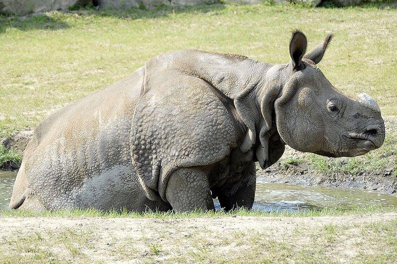 Raksha Bandhan Essay Indian Rhinoceros In The Warsaw Zoo  Who Am I Essay Outline also Persuasive Essay Outline Sample Indian Rhinoceros Rhinoceros Unicornis  Animals  Az Animals Essay About Land Pollution