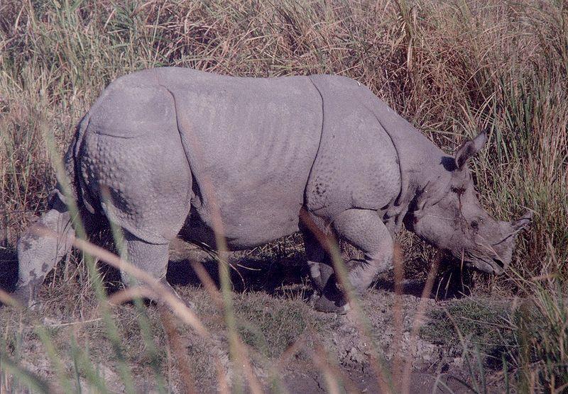 Picture 5 of 6 - Indian Rhinoceros (Rhinoceros Unicornis